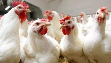 圣农发展培育出国内首个白羽肉鸡新品种,打破国外垄断