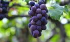 福安葡萄:不断突破中长成特色产业