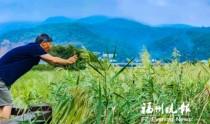 福州花海公园又添新景 百亩苇海芦花飘
